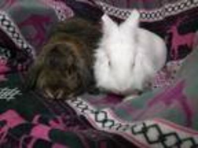 Adopt Tod and Keir a Other/Unknown / Mixed rabbit in Idaho Falls, ID (25465980)