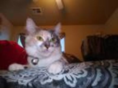 Adopt Squidy a Calico or Dilute Calico Calico cat in Rosamond, CA (25591903)