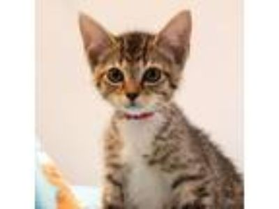 Adopt Sandy a Brown Tabby Domestic Shorthair / Mixed (short coat) cat in