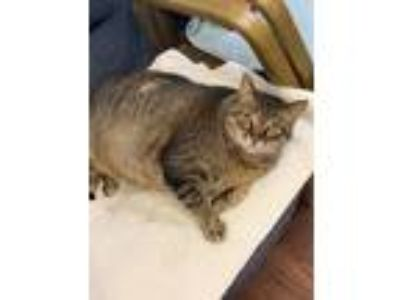 Adopt Tiger Lily a Domestic Short Hair