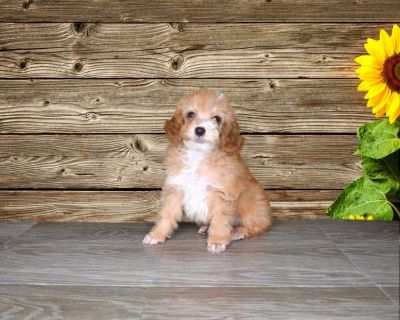 Shadow is a purebred Poodle!! www.PuppiesForSaleToday.com