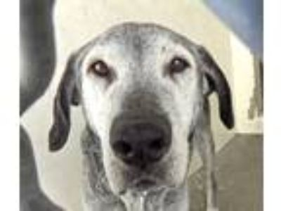 Adopt LINDEN a Black - with Gray or Silver Labrador Retriever / Mixed dog in