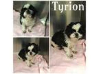 Adopt TYRION a White - with Black Shih Tzu / Mixed dog in Macon, GA (25557663)