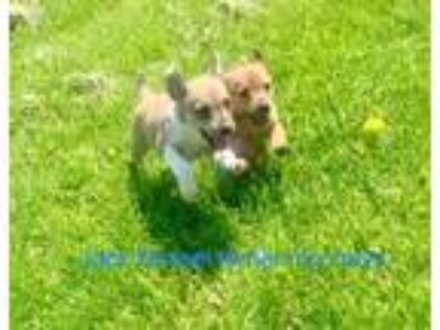 Adopt Leo a Tan/Yellow/Fawn - with White Jack Russell Terrier / Rat Terrier /