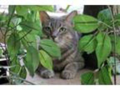 Adopt Tobarra a Domestic Medium Hair, Domestic Long Hair