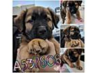 Adopt PIGLET a Brown/Chocolate - with Black German Shepherd Dog / Mixed dog in