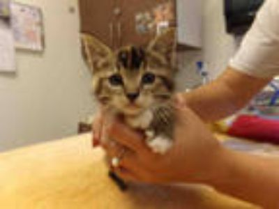 Adopt *PENNY a Tortoiseshell Domestic Shorthair / Mixed (short coat) cat in