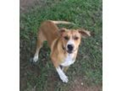 Adopt Max a Tan/Yellow/Fawn Mastiff / Great Pyrenees / Mixed dog in Stillwater