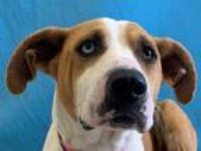 Adopt Lucy a Tan/Yellow/Fawn Hound (Unknown Type) / Boxer / Mixed dog in St.