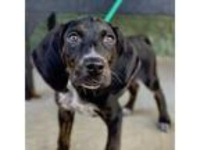 Adopt Quinn a Black - with Brown, Red, Golden, Orange or Chestnut Labrador