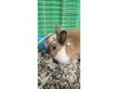 Adopt Luna & Luke a Grey/Silver Lop-Eared / Mixed rabbit in Pottsville