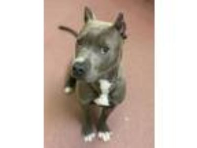 Adopt Olso a Pit Bull Terrier