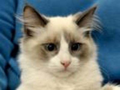 Adopt Hercules a Cream or Ivory Siamese (short coat) cat in Great Falls
