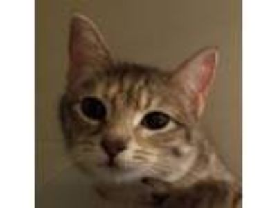 Adopt Bailey a Domestic Short Hair