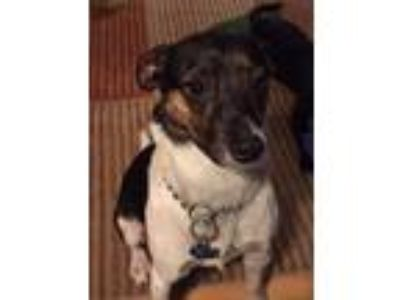 Adopt Emerson a Rat Terrier