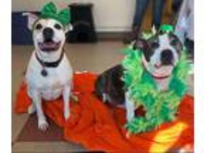 Adopt Sunny & Humphrey - Bonded Pair a American Staffordshire Terrier / Boxer /