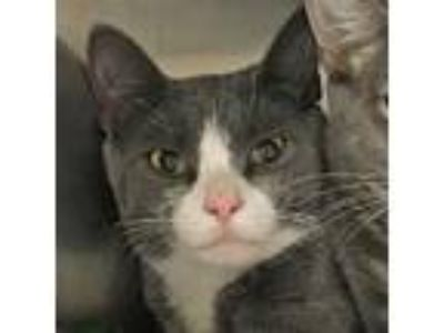 Adopt Dusty a Gray or Blue Domestic Shorthair / Domestic Shorthair / Mixed cat