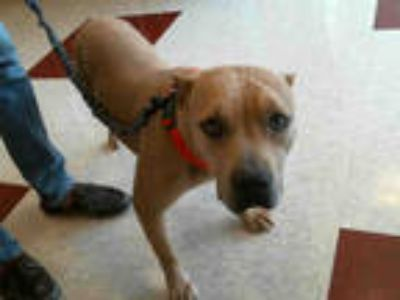 Adopt ELEKTRA a Tan/Yellow/Fawn American Pit Bull Terrier / Mixed dog in Plano