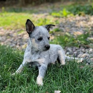 Australian Cattle Dog PUPPY FOR SALE ADN-95121 - Juno