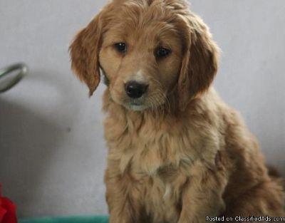 GCTHFHGfgh Gooldendoodle puppies