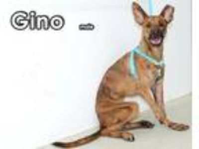 Adopt Gino from Taiwan a Mountain Dog, Labrador Retriever