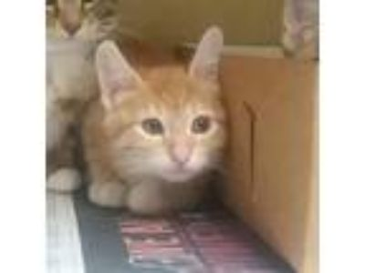 Adopt 32016a Katie (@ PetSmart West Ashley) a Orange or Red Domestic Shorthair /