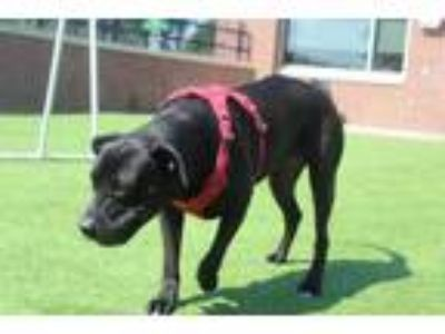Adopt Oso a Black Labrador Retriever / Mixed dog in Farmers Branch