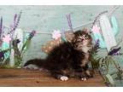 Adopt Rafiki a Maine Coon / Mixed (long coat) cat in San Jacinto, CA (25345846)