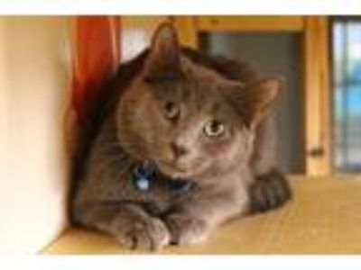 Adopt Derek a Gray or Blue Russian Blue / Mixed (medium coat) cat in Buford