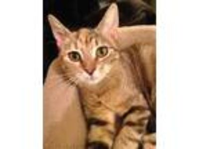 Adopt Rylee17 a Domestic Shorthair / Mixed (short coat) cat in Youngsville