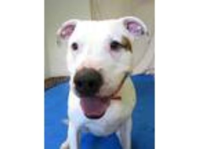 Adopt BUDDY a White American Pit Bull Terrier / Mixed dog in Mt.