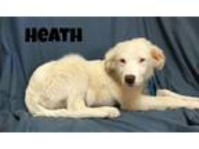Adopt Heath a Great Pyrenees / Mixed dog in Williamstown, KY (25562814)