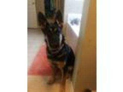 Adopt Zena a Black - with Tan, Yellow or Fawn German Shepherd Dog dog in