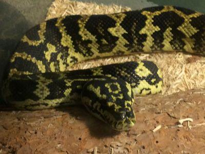 Black n yellow pet snake