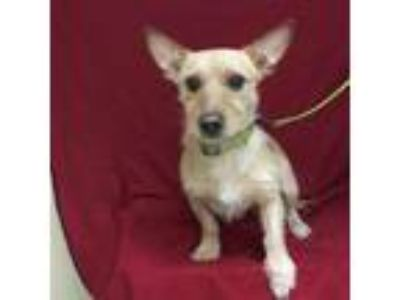 Adopt King a Tan/Yellow/Fawn Terrier (Unknown Type, Small) / Mixed dog in Tampa