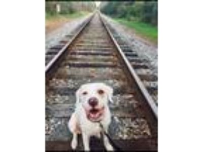 Adopt Journey a White American Pit Bull Terrier / Great Pyrenees dog in Perry