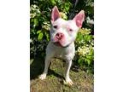 Adopt James a White American Pit Bull Terrier / Mixed Breed (Medium) / Mixed dog