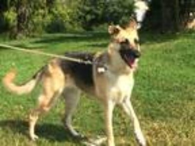 Adopt Kiya a Tricolor (Tan/Brown & Black & White) German Shepherd Dog / Mixed
