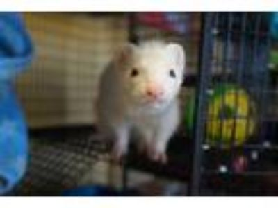 Adopt ZELDA a White Ferret / Mixed small animal in Norfolk, VA (25868773)