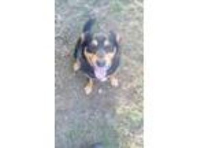 Adopt Johnny (Fostered in TN) a Black - with Tan, Yellow or Fawn Hound (Unknown
