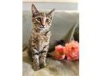 Adopt Paisley a Domestic Shorthair / Mixed (short coat) cat in Memphis