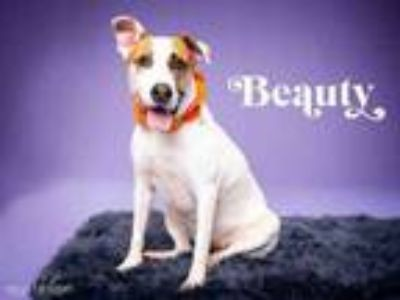 Adopt BEAUTY a Collie, Parson Russell Terrier