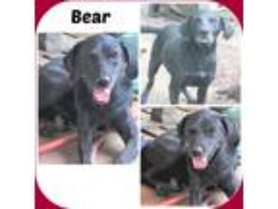 Adopt BEAR a Black Labrador Retriever / Mixed dog in Malvern, AR (22951985)