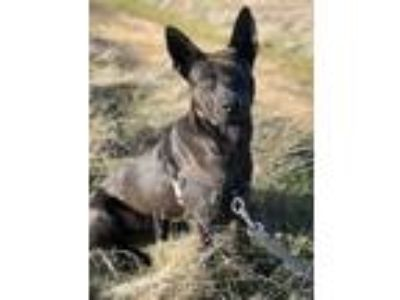 Adopt Mars a Black Labrador Retriever / Mixed dog in Castro Valley