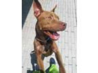 Adopt Dusty a Brown/Chocolate American Pit Bull Terrier / Mixed dog in New