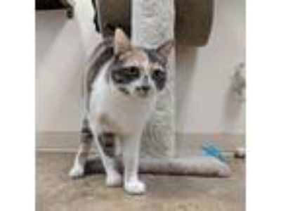 Adopt Ana a Calico or Dilute Calico Domestic Shorthair cat in North Hollywood