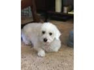 Adopt Millie a White Bichon Frise dog in Sanford, FL (25641683)