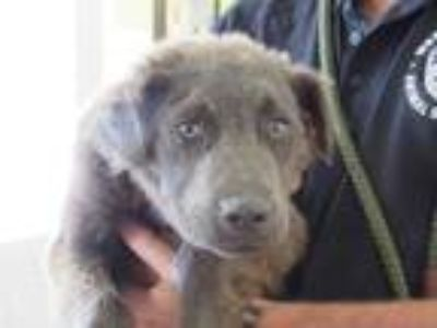 Adopt Hendrix a Black Chow Chow / Mixed dog in West Memphis, AR (25896825)