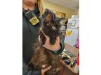 Adopt Lizzie a All Black Domestic Longhair / Mixed cat in Merriam, KS (25309096)