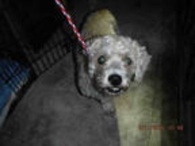 Adopt CURLY a White Poodle (Miniature) / Mixed dog in Doral, FL (25588072)